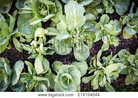 Cabbage is a leafy green or purple biennial plant and widely used throughout the world. Cabbage can be cook in a many ways either a cooked or raw part of many salads.