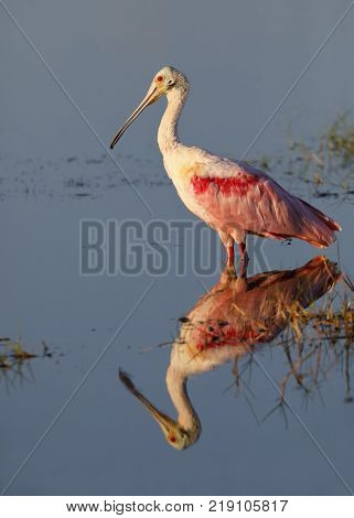 Roseate Spoonbill With Reflection - Merritt Island Wildlife Refuge, Florida