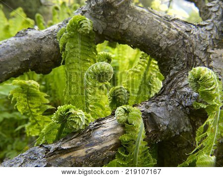 Young springs of shuttlecock fern, or ostrich fern, Matteuccia struthiopteris, on sides of a fallen tree