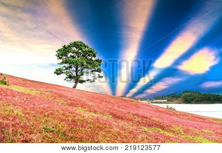 Grass hill and pine tree dawn with colorful rays light shine into sky it's great to see here. The combination pink tone grass create amazing things in nature that we rarely encounter in life