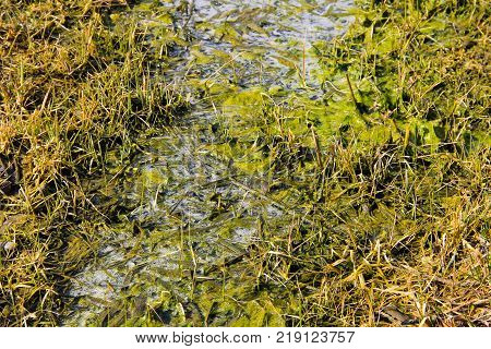 Marshland With Algae In Standing Water