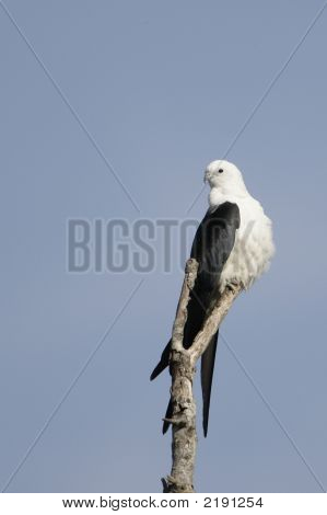 Swallowtailed Kite _Mg_2270