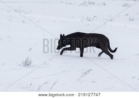 Stray dog being on hunting stage for mouse hiding under snow