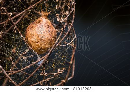 A Garden spider egg sac in a plant close up
