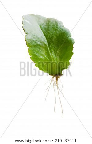 Baby Kalanchoe plant propagated from leaf isolated on white