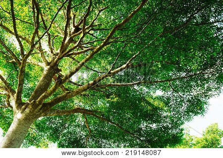 Grand branches of tree on sunny day in tropical of Bangkok, Thailand. Photography an old bigger tree in worm view. It best for landscape, nature, photography and travel.
