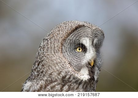 Great grey owl (Strix nebulosa). Beautiful gray owl bird of prey face in close up. Large facial disc in profile against blurred background.
