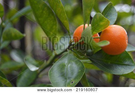 ripe calamansi or calamondin on right side