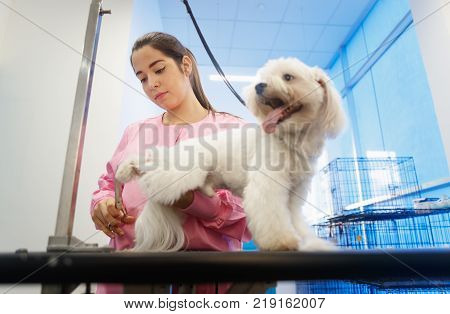 Young woman working in pet shop, trimming dog hair, girl grooming puppy for beauty in store. People, jobs, professions and care for animals