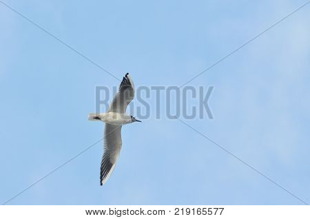 Beautiful Seagull flying in the sky, Seagull with a blue sky