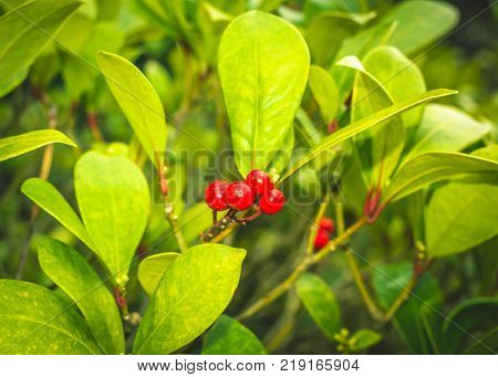 Skimmia japonica shrub with leaves and red berries. Japanese sorbus