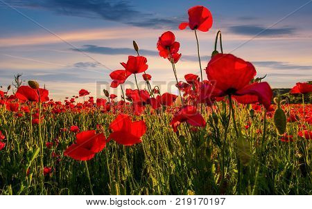 poppy flowers field in mountains. beautiful summer landscape at sunset