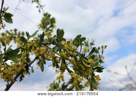 Spring flowers of yellow currant. Golden currant branch with flowers against blue sky.