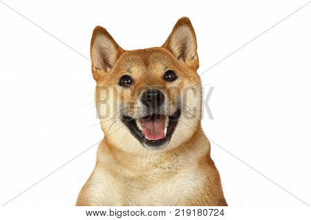 Portrait of Shiba inu purebred dog with an open mouth isolated on white background