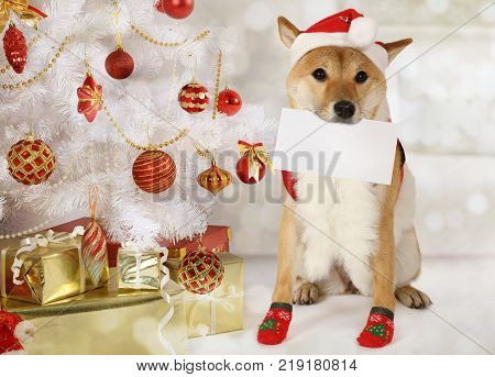Japanese shiba inu dog with a gift package and a greeting card in his mouth dressed in a Christmas costume on the background of Christmas tree
