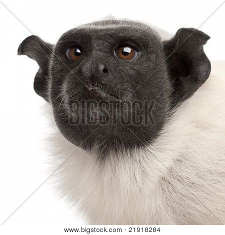 Close-up of Pied tamarin, Saguinus bicolor, 4 years old, in front of white background