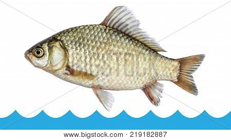 Fish crucian jumping out of the water isolated white background