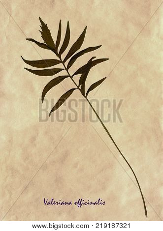 Herbarium from pressed and dried leaves of Valerian on antique brown craft paper with Latin subscript Valeriana officinalis