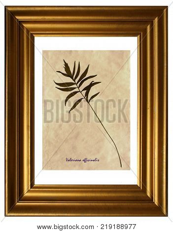Herbarium from pressed and dried leaves of Valerian (Valeriana officinalis) in the frame