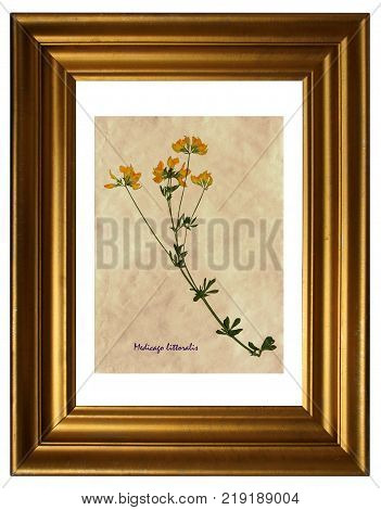 Herbarium from pressed and dried flowers of medick (Medicago littoralis) in the frame