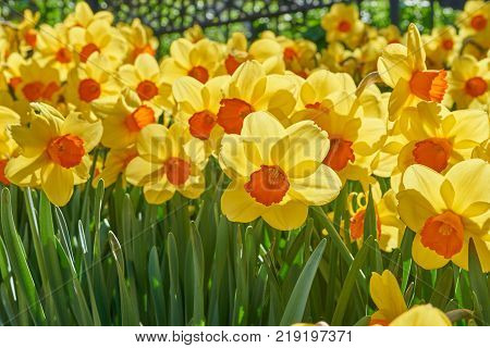 Bright vivid yellow daffodils flowers blooming on sunlit spring meadow against serene blue sky
