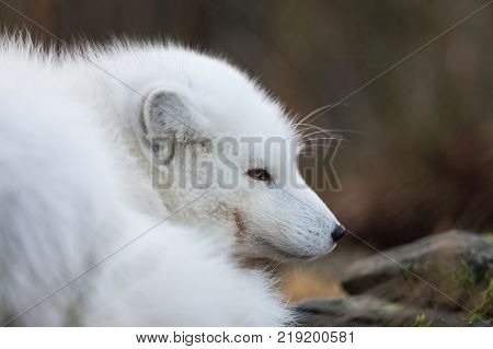 Arctic fox, Vulpes Lagopus, resting on the forest floor in its white winter camouflage fur. The camouflage is not working well, as there is no snow. Animal is in captivity in a zoo