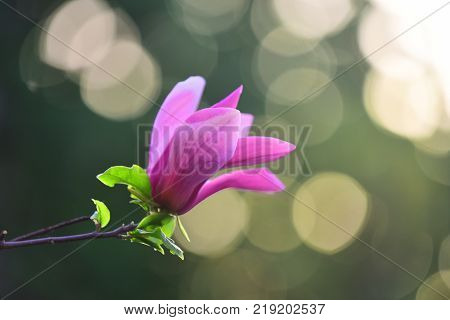 Nobility perseverance dignity concept. Magnolia flower purple blossom on bokeh natural background. Spring nature beauty. Flourishing success youth