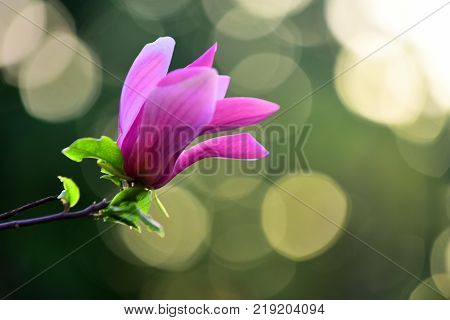 Flourishing success youth. Magnolia flower purple blossom on bokeh natural background. Spring nature beauty. Nobility perseverance dignity concept.