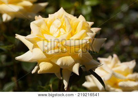 Rose Hybrid Tea Grandpa Dickson. large yellow flower