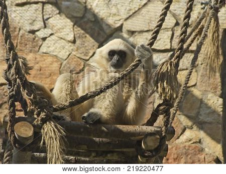 Adult lar gibbon ape, Hylobates lar, is sitting on high platform and holds a rope. A monkey has black snout and brown hair.