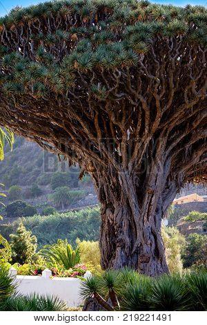 Tenerife famous dragon tree in the Icod de Los Vinos, Canary Islands. Spain.