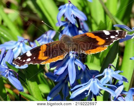 Red Admiral on snowdrop flower in forest of Thornhill Canada April 17 2017