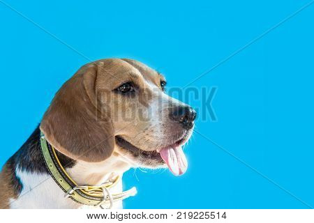 Puppy Dog animal and pet small cute beagle on blue background with copy space for text