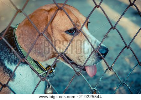Puppy Dog animal and pet at home small cute beagle