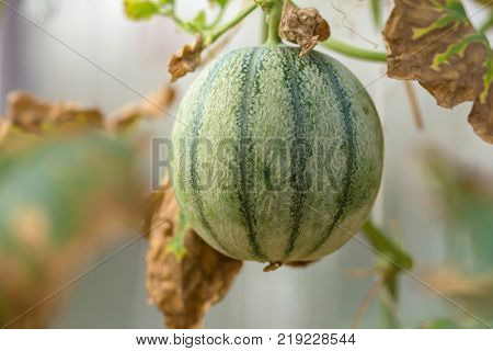 Cantaloup green melon growing in farm supported by string melon nets.