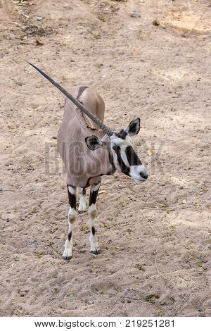 Scimitar oryx or scimitar-horned oryx or Sahara oryx is a species of Oryx once widespread across North Africa which went extinct in the wild in 2000. Thailand