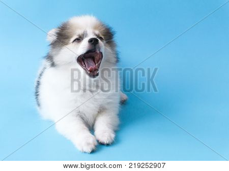 Closeup face of puppy pomeranian yawning with light blue background dog healthy concept