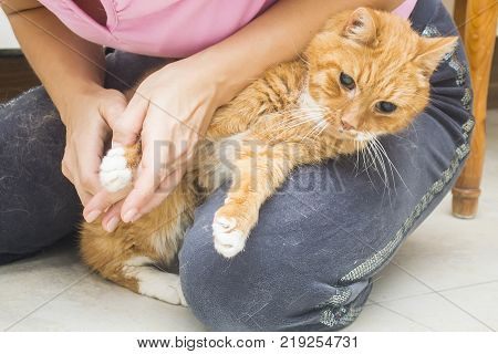 clipping claws and caring for a cat at home, a young pretty woman caring for a red cat