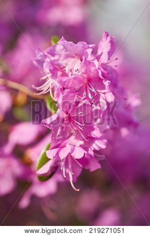 Aerial view pink red lilac Rhododendron blossoms white lace background Closeup beautiful evergreen rhododendron outside in garden park, ideal for gardening, nature