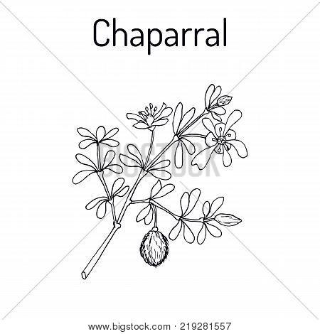 Chaparral Larrea tridentata , or creosote bush, greasewood, medicinal plant. Hand drawn botanical vector illustration