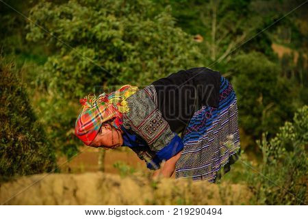 Sapa Vietnam - May 28 2016. A woman on rice field in Sapa Vietnam. Sapa is a frontier township and capital of Sa Pa District in Lao Cai Province in north-west Vietnam.