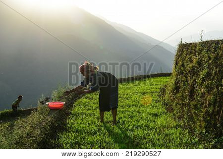 Sapa Vietnam - May 28 2016. A Hmong woman on rice field in Sapa Vietnam. Sapa is a frontier township and capital of Sa Pa District in Lao Cai Province in north-west Vietnam.