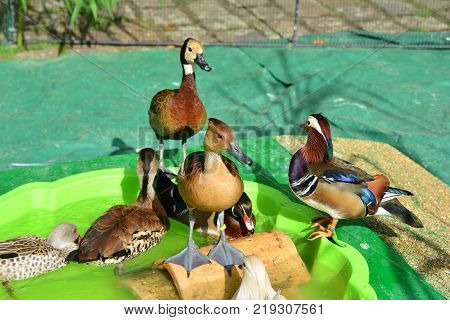 Different kinds of ducks in the barnyard Diversity