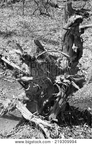 Up close black and white photo of Amazing tree roots found at Deam Lake in Indiana