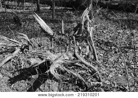 Black and white photo of decaying fallen tree within Deam Lake Park in Indiana