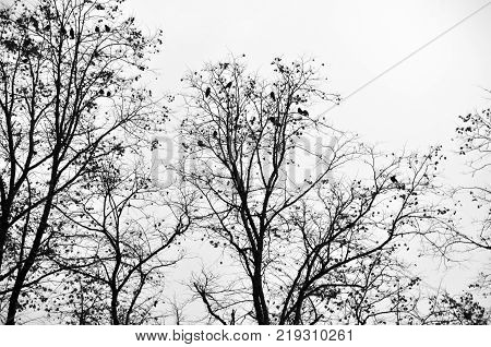 crows roosting in a winter tree with white sky
