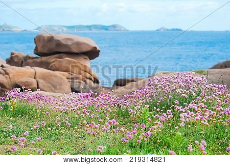 Small pink flower or sea thrist or thrift armeria growing seaside in summer with background big brown stone blue of Atlantic ocean and clouds sky.