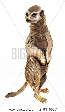Watercolor image of standing meerkat on white background