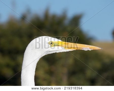 Egret in a lake focused by camera