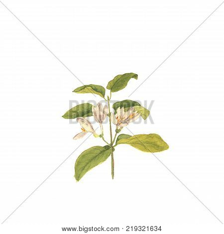 Branch of wild honeysuckle, hand painted Isolated watercolor illustration on white